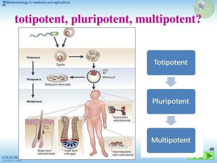 totipotent, pluripotent, multipotent?