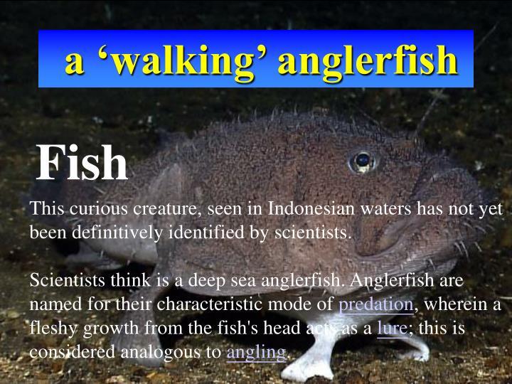 a 'walking' anglerfish