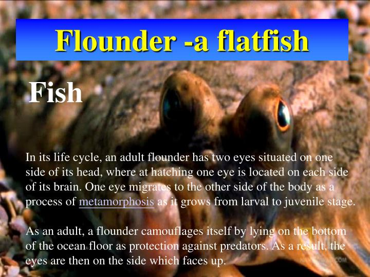 Flounder -a flatfish