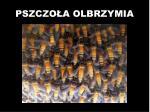 pszczo a olbrzymia