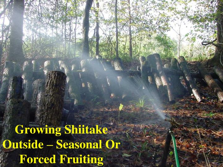 Growing Shiitake Outside – Seasonal Or Forced Fruiting