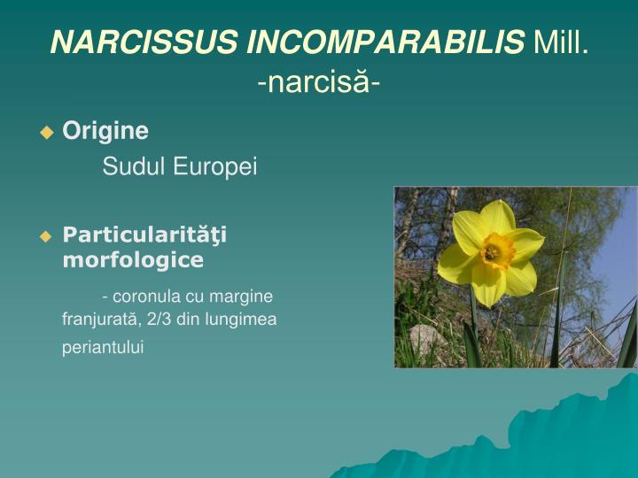 NARCISSUS INCOMPARABILIS