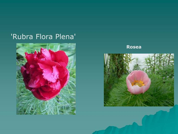 'Rubra Flora Plena'