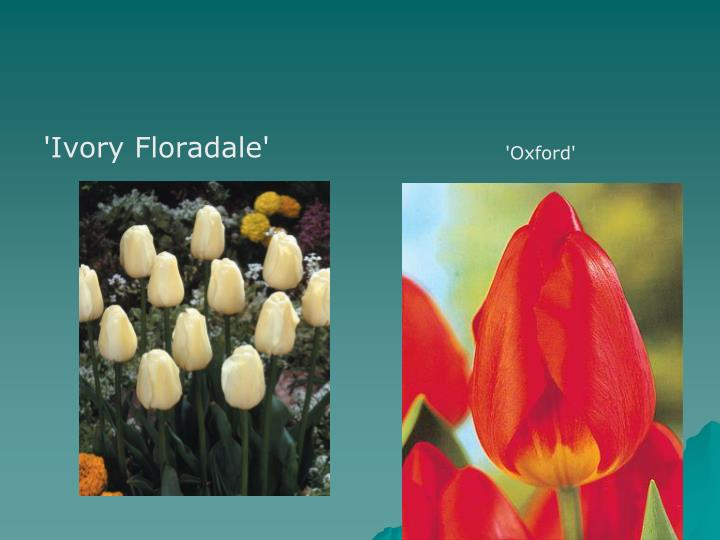 'Ivory Floradale'