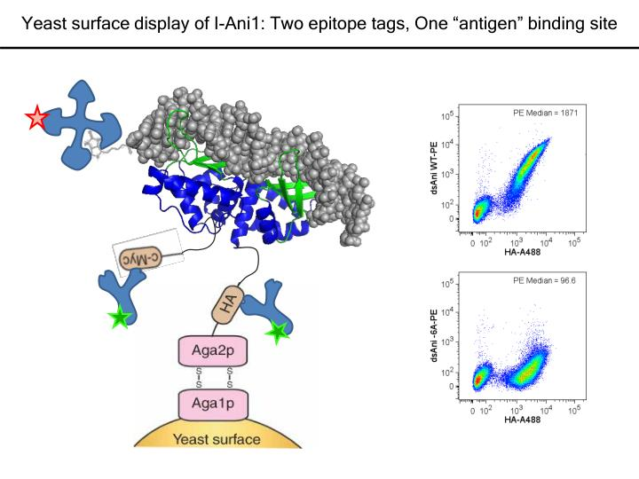"""Yeast surface display of I-Ani1: Two epitope tags, One """"antigen"""" binding site"""