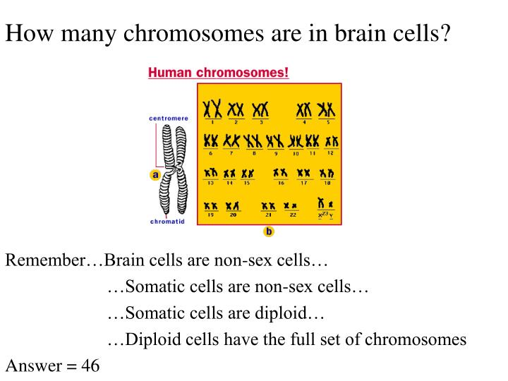 How many chromosomes are in brain cells?