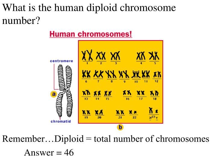 What is the human diploid chromosome number?