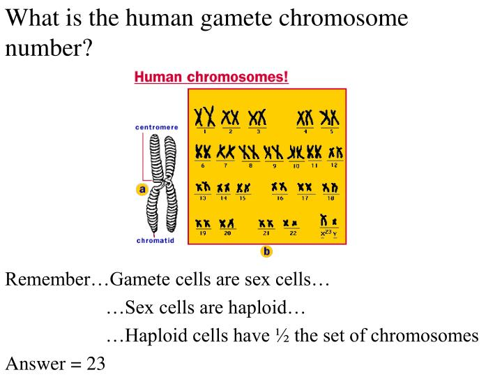 What is the human gamete chromosome number?