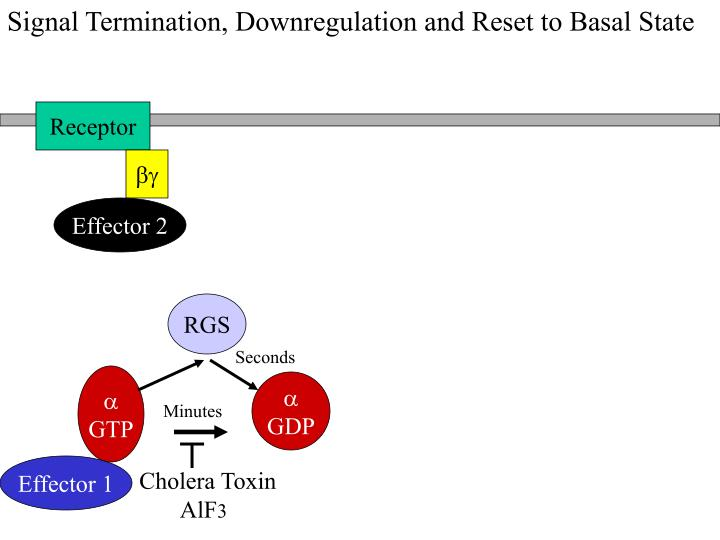 Signal Termination, Downregulation and Reset to Basal State