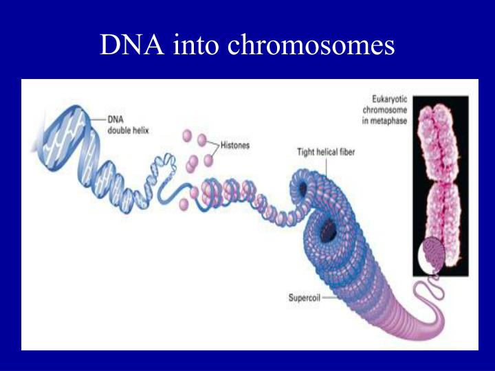 DNA into chromosomes