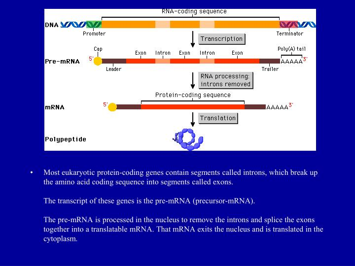 Most eukaryotic protein-coding genes contain segments called introns, which break up the amino acid coding sequence into segments called exons.