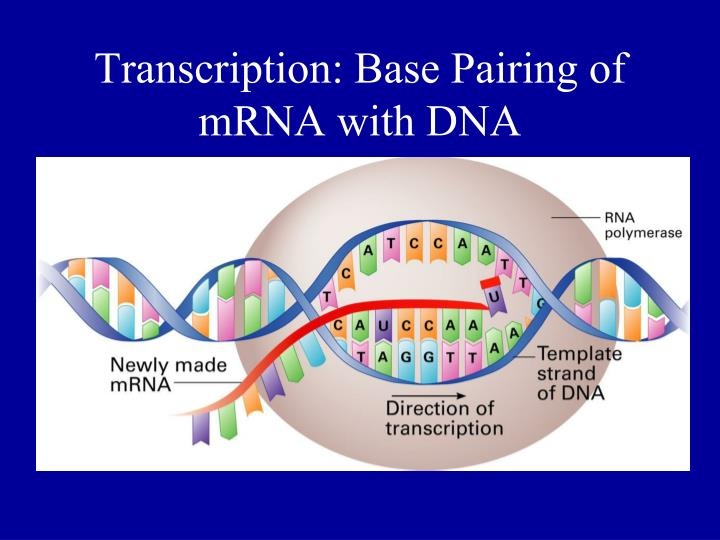 Transcription: Base Pairing of mRNA with DNA