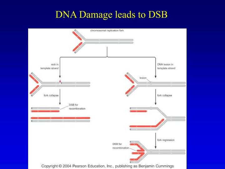 DNA Damage leads to DSB