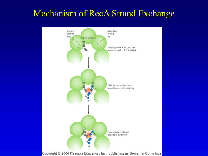 Mechanism of RecA Strand Exchange