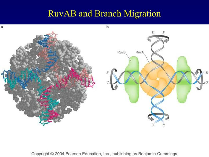 RuvAB and Branch Migration