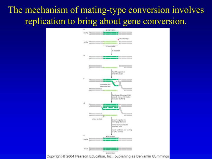 The mechanism of mating-type conversion involves replication to bring about gene conversion.
