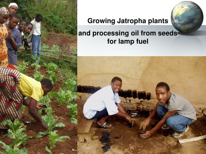 Growing Jatropha plants