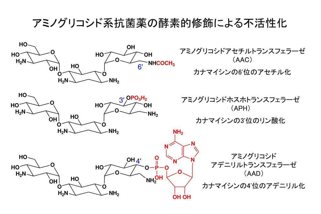 系 薬 アミノグリコシド 抗菌