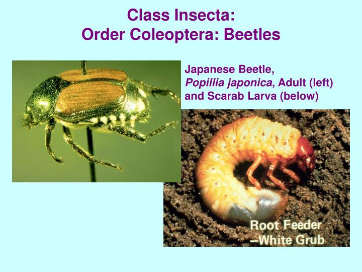 Class Insecta: