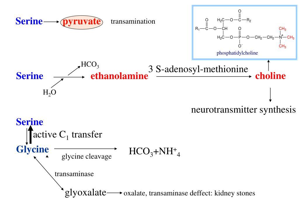 PPT - Amino Acid Catabolism II: Fate of Carbon Skeleton