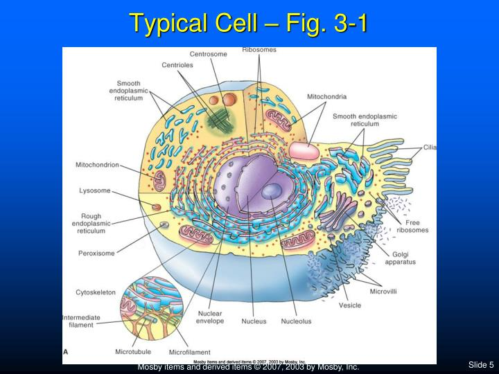 PPT - Chapter 3 Anatomy of Cells PowerPoint Presentation - ID:4377287