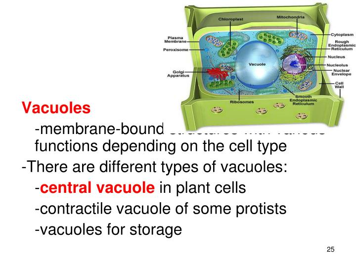 central vacuole structure - 720×540