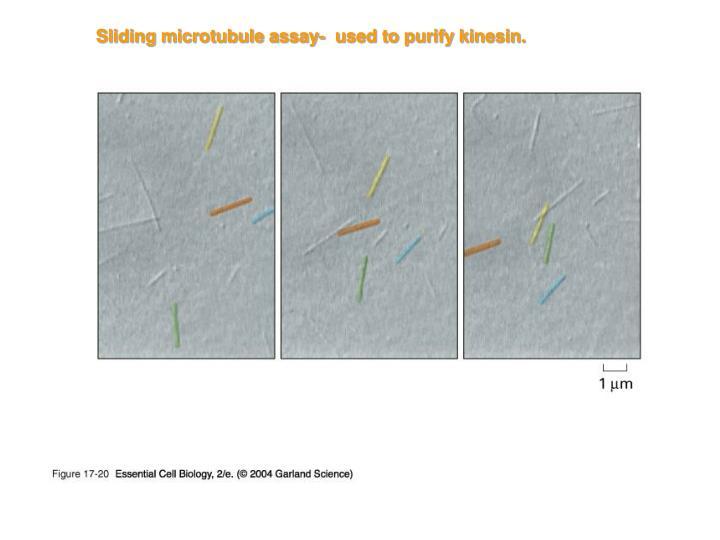 Sliding microtubule assay-  used to purify kinesin.