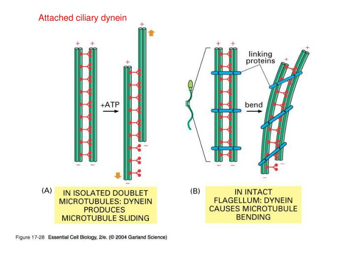 Attached ciliary dynein