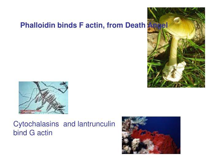Phalloidin binds F actin, from Death Angel