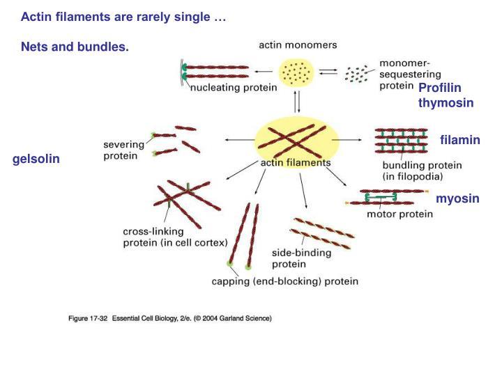 Actin filaments are rarely single …