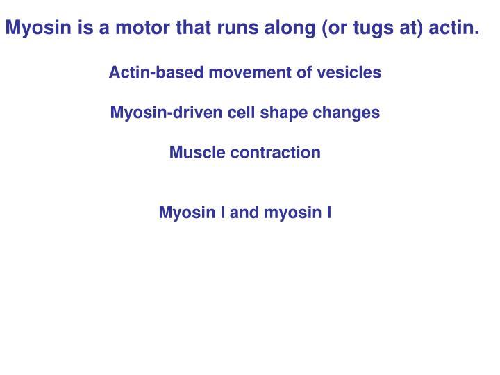 Myosin is a motor that runs along (or tugs at) actin.