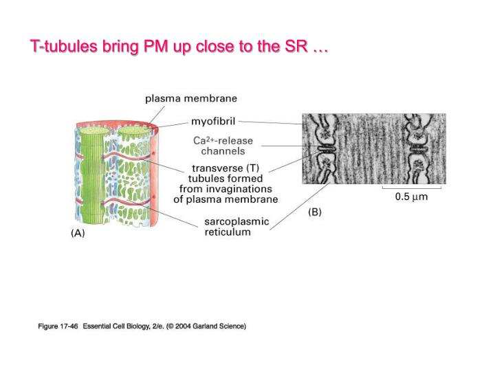 T-tubules bring PM up close to the SR …
