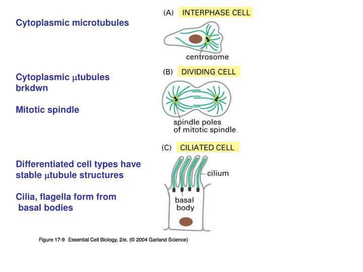 Cytoplasmic microtubules