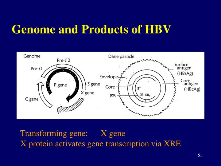 Genome and Products of HBV