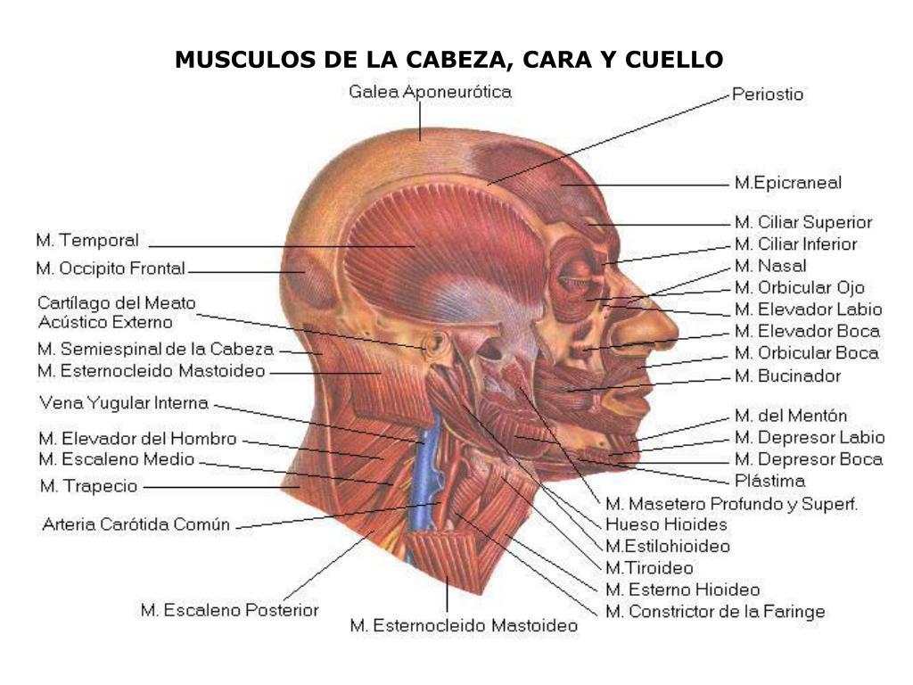 PPT - MUSCULOS DE LA CABEZA, CARA Y CUELLO PowerPoint Presentation ...