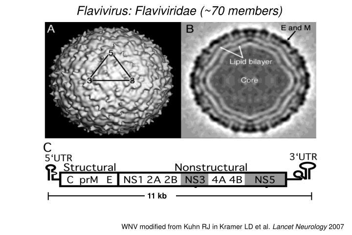 Flavivirus: Flaviviridae (~70 members)