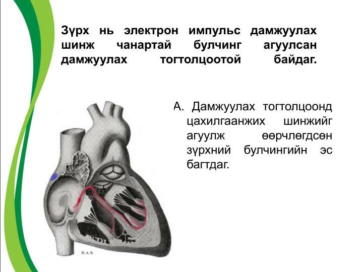Зүрх нь электрон импульс дамжуулах шинж чанартай булчинг агуулсан дамжуулах