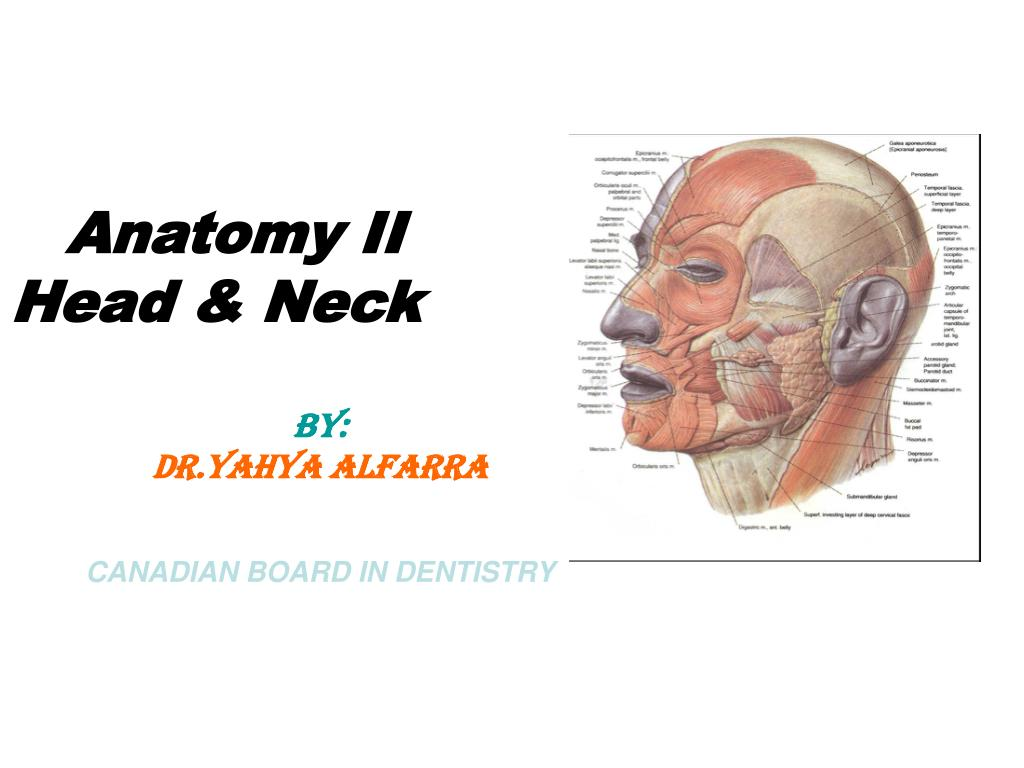 PPT - Anatomy II Head & Neck BY: DR.Yahya Alfarra CANADIAN BOARD IN ...