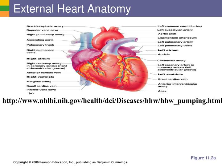 PPT - The Heart: Associated Great Vessels PowerPoint Presentation ...