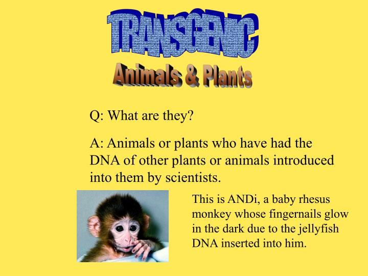 transgenic animals and plants For animal welfare concerns regarding the use of transgenic animals, see transgenic animals, animal welfare and ethics (optional) for a practical application of transgenics, see transgenic goats (optional.
