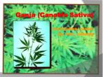 ganja canabis sativa mariyuana rasta ijo teh cimeng