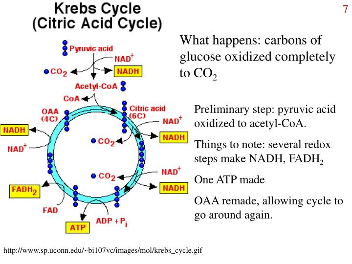 What happens: carbons of glucose oxidized completely to CO