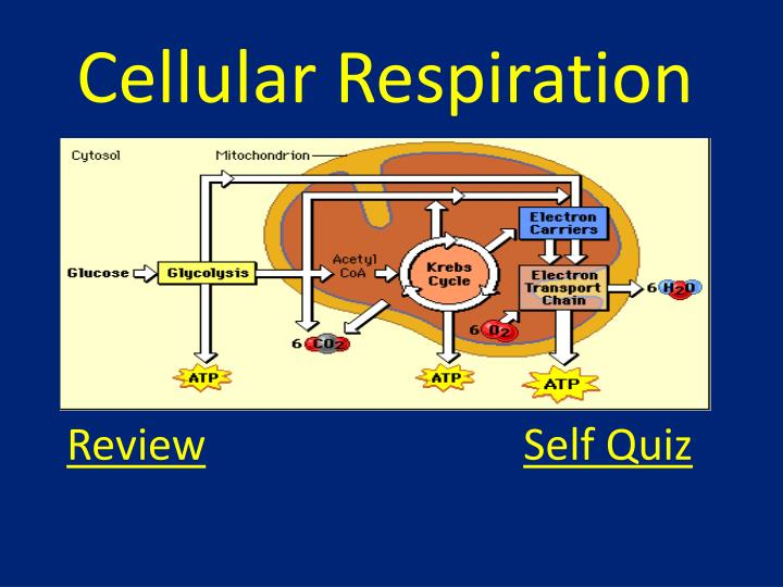 Ppt - Cellular Respiration Powerpoint Presentation  Free Download