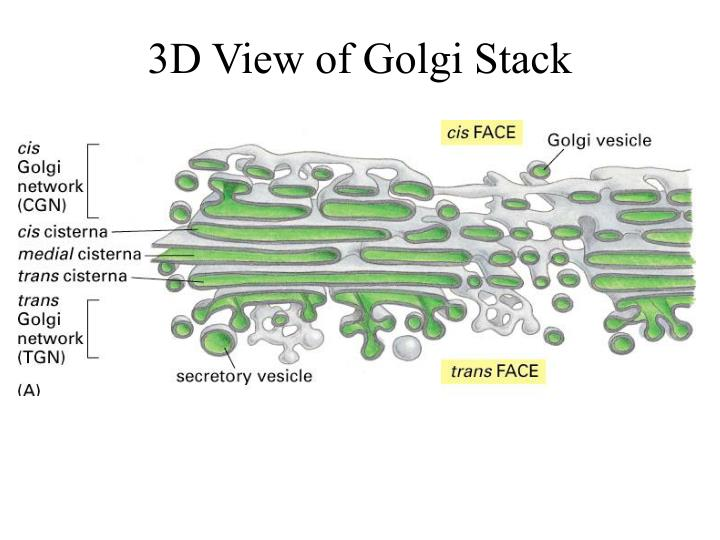 3D View of Golgi Stack
