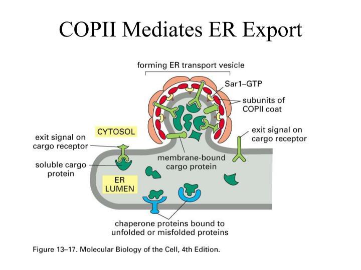 COPII Mediates ER Export