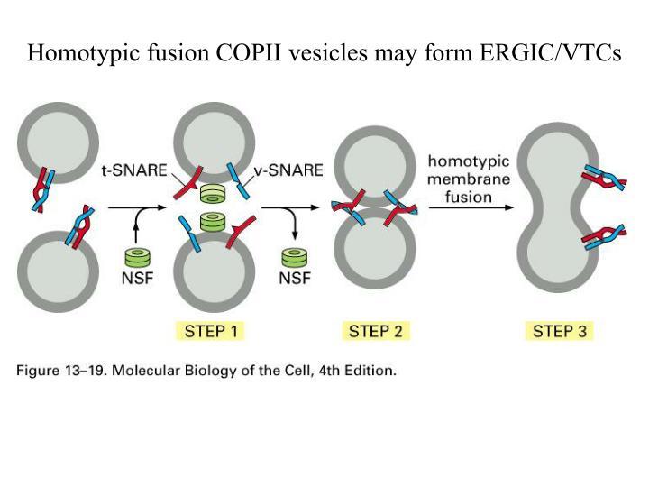 Homotypic fusion COPII vesicles may form ERGIC/VTCs