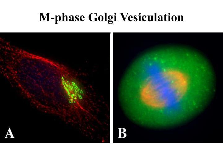M-phase Golgi Vesiculation