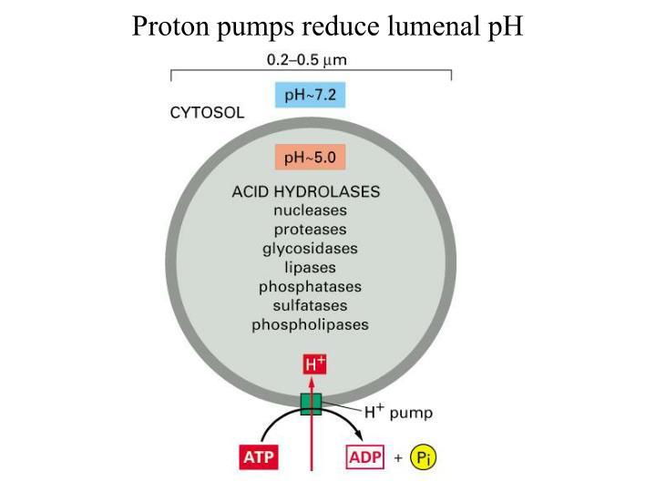 Proton pumps reduce lumenal pH