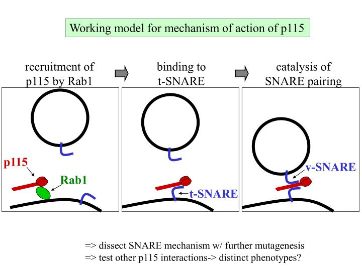 Working model for mechanism of action of p115