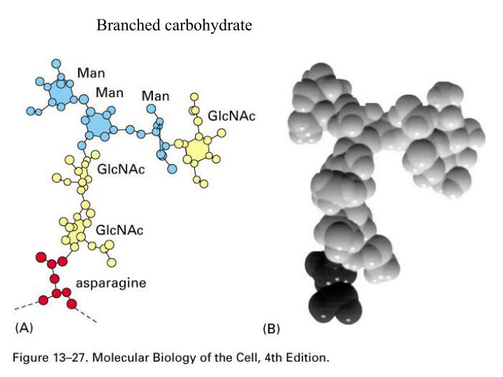 Branched carbohydrate